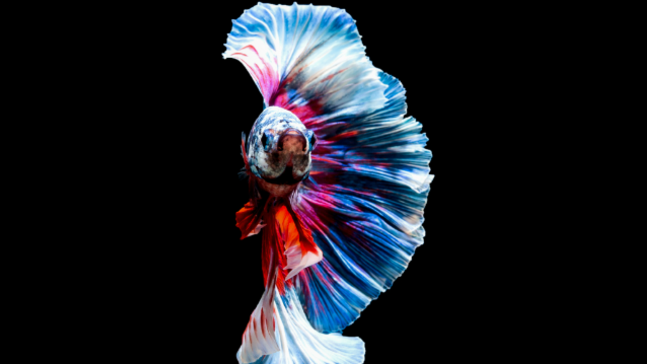 15 Fighting Facts About Siamese Fighting Fish | Mental Floss