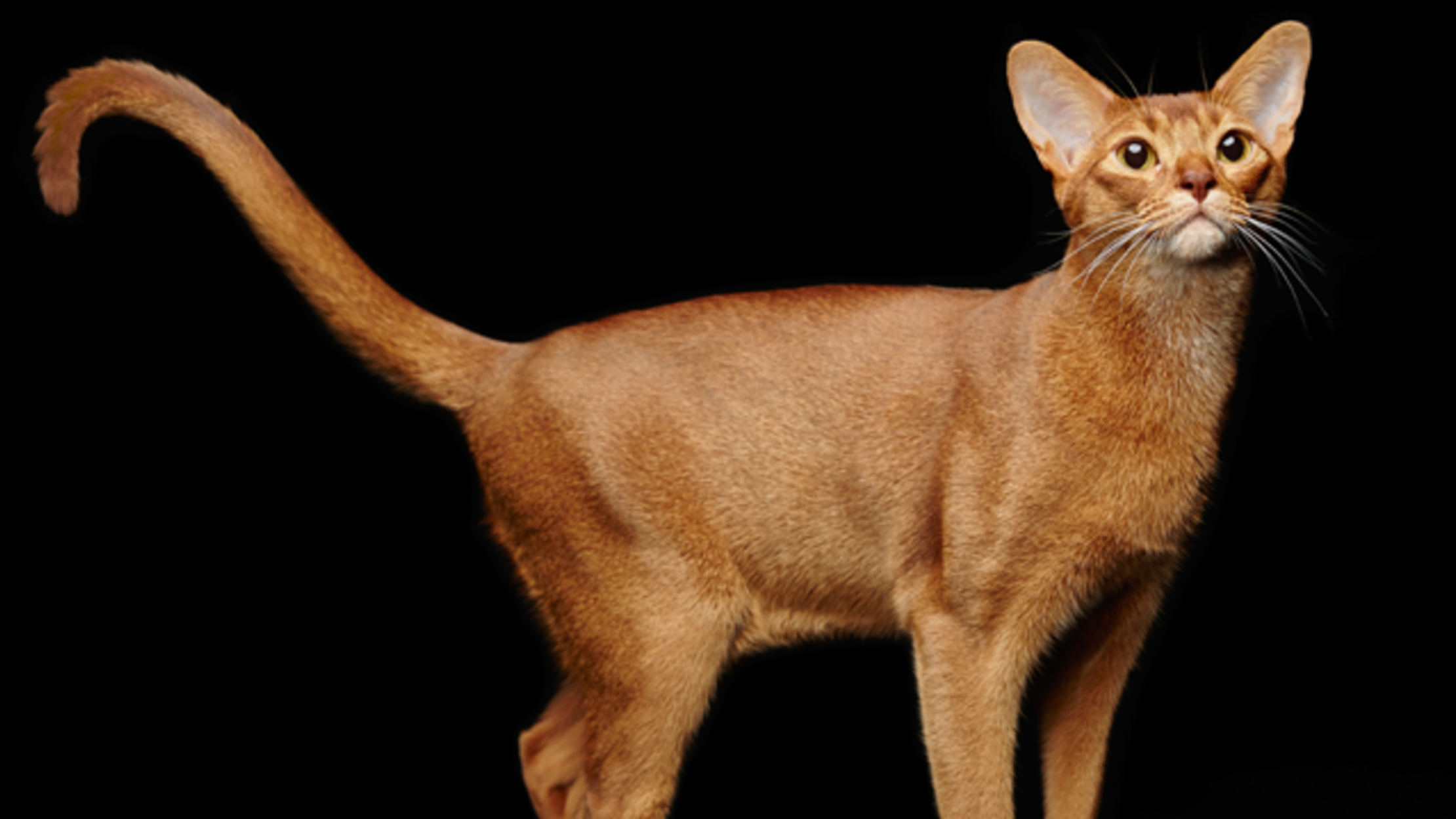 7 Agile Facts About Abyssinian Cats Mental Floss