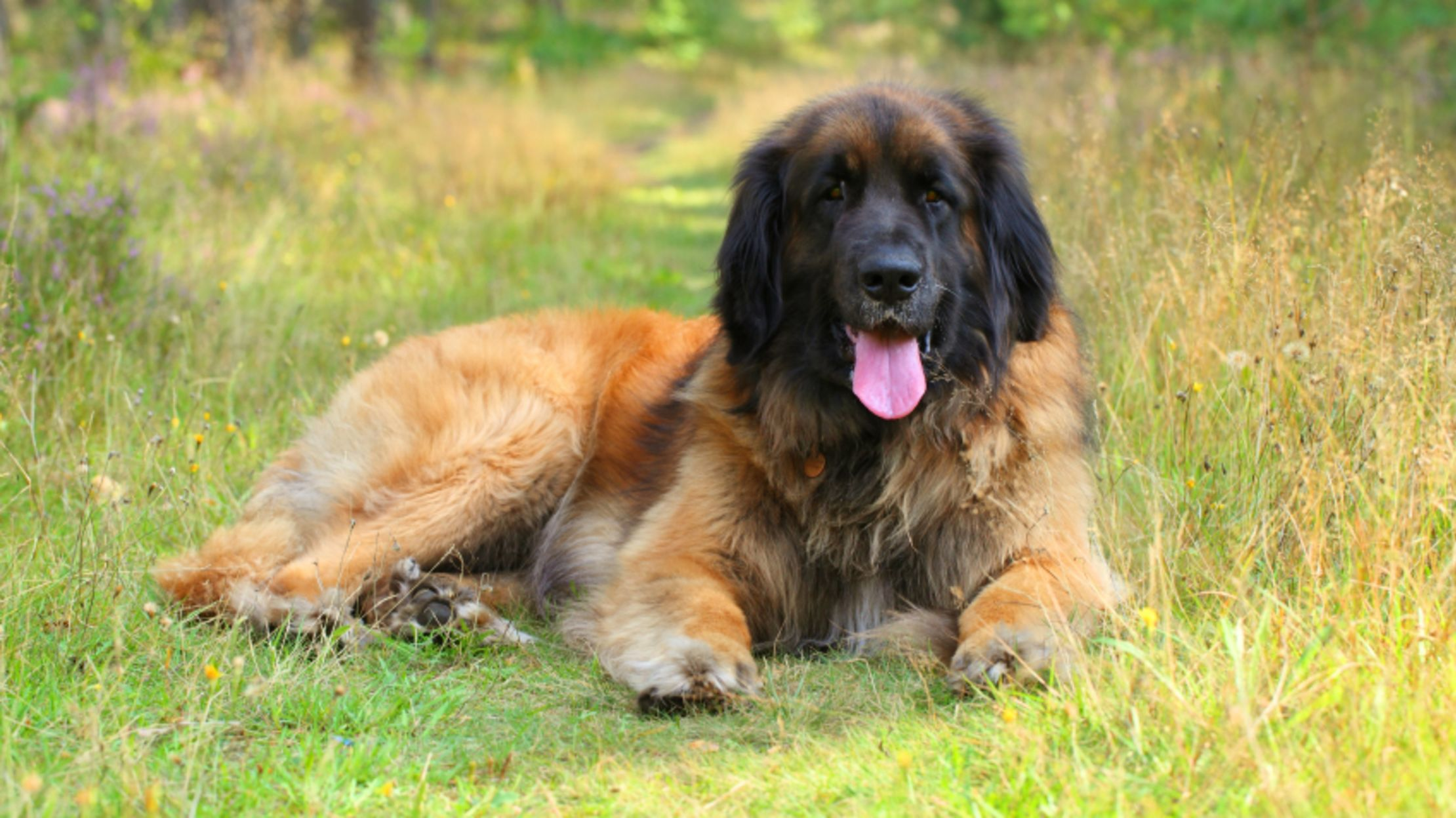 9 Impressive Facts About The Leonberger Mental Floss