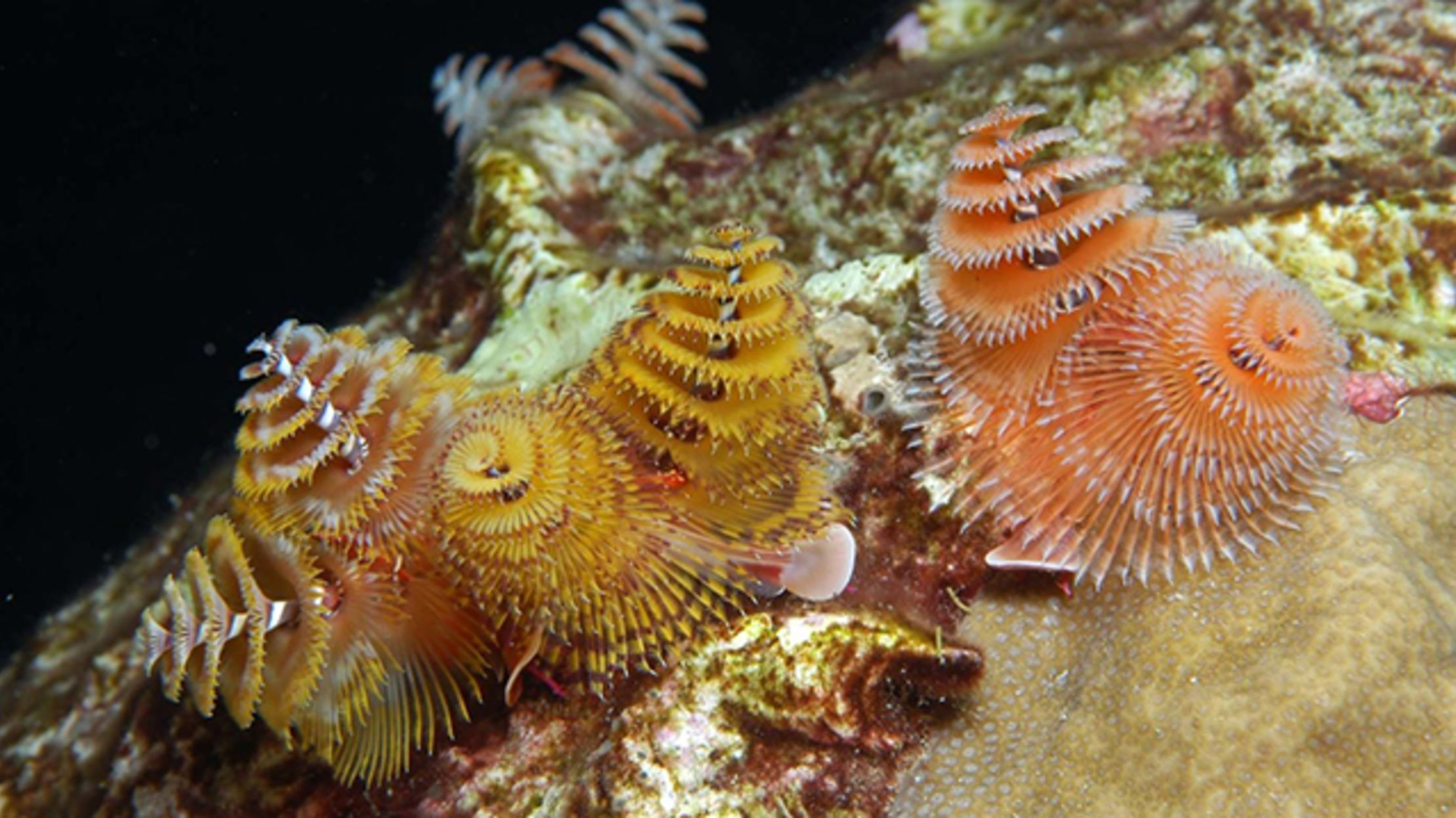 The Christmas Tree Worm Has Eyes on Its