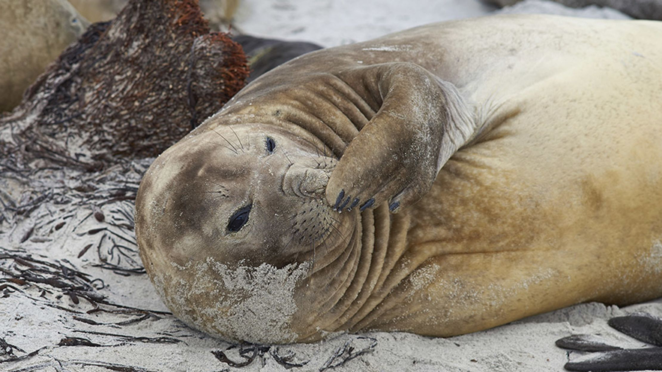 14 Huge Facts About Elephant Seals | Mental Floss