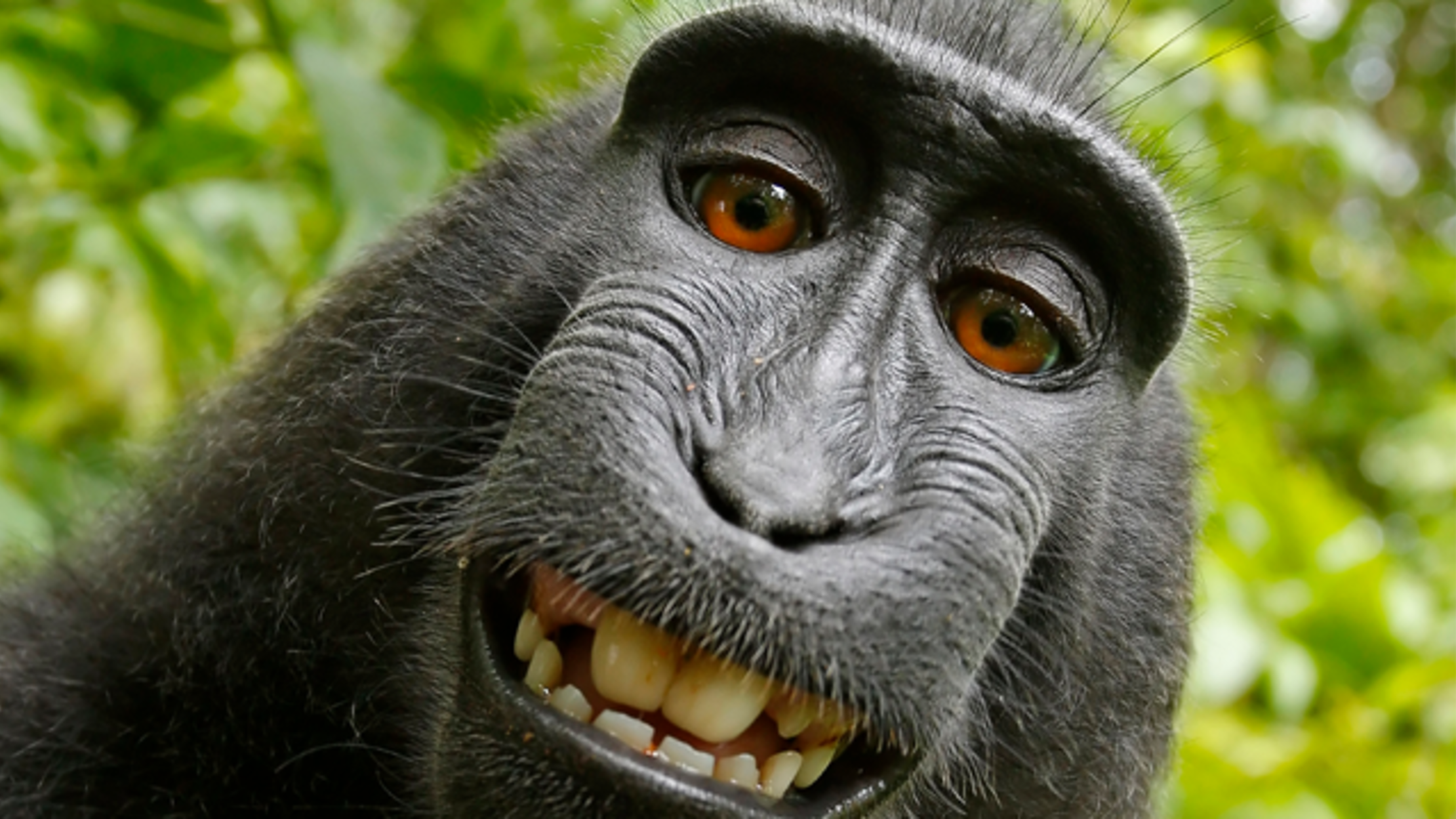 The Case of the Monkey Selfie: Animals Can't Own Copyrights, Judge Rules