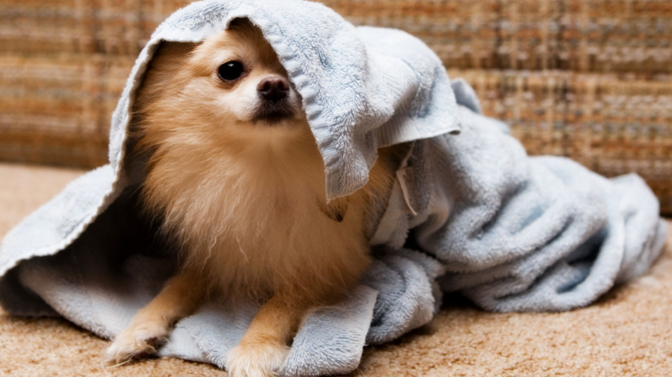 10 Not So Fluffy Facts About Pomeranians Mental Floss