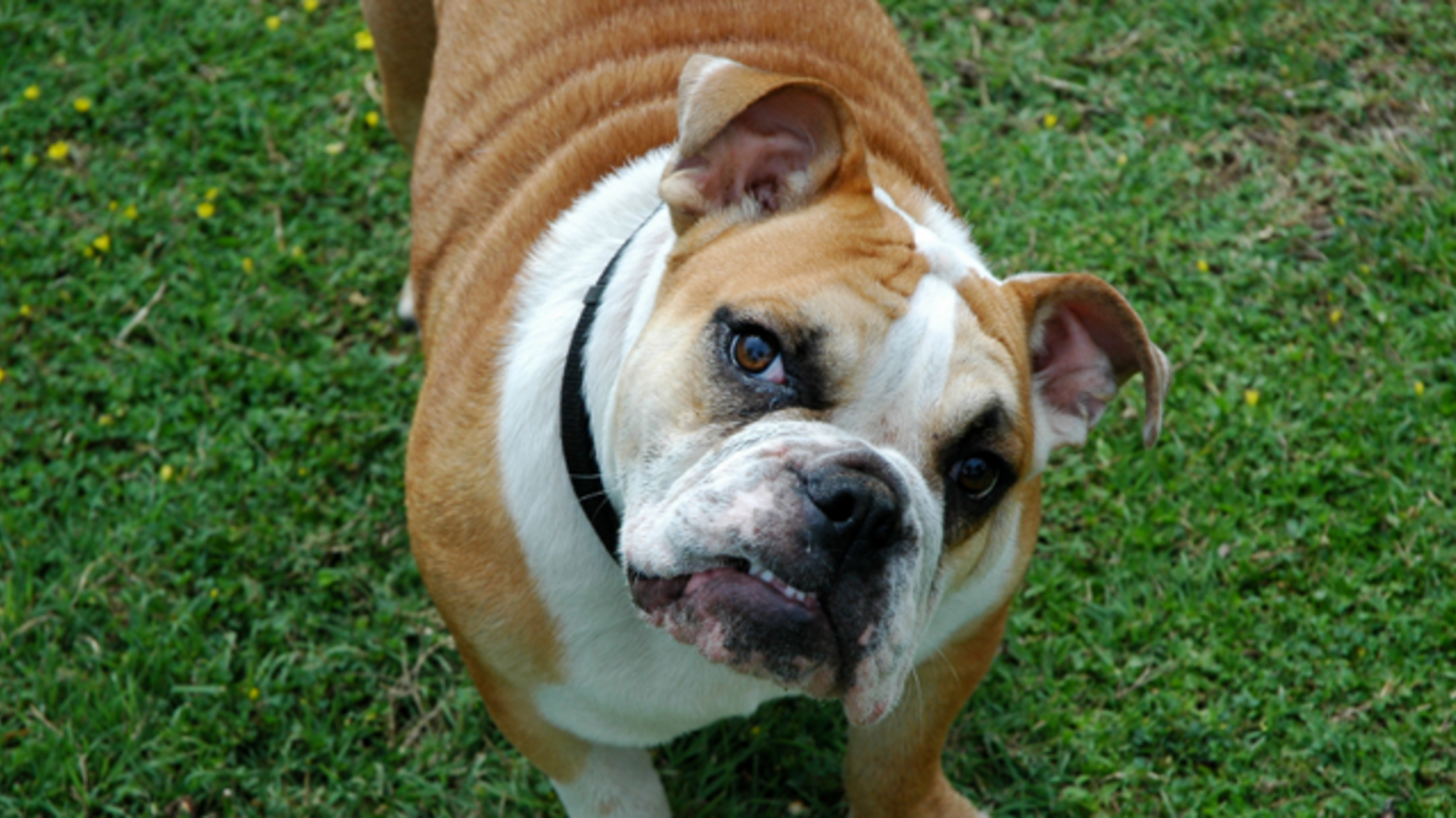 Solid Facts About The English Bulldog