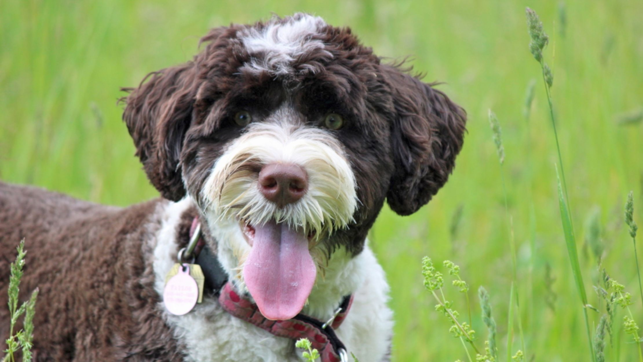 9 Fuzzy Facts About The Portuguese Water Dog Mental Floss