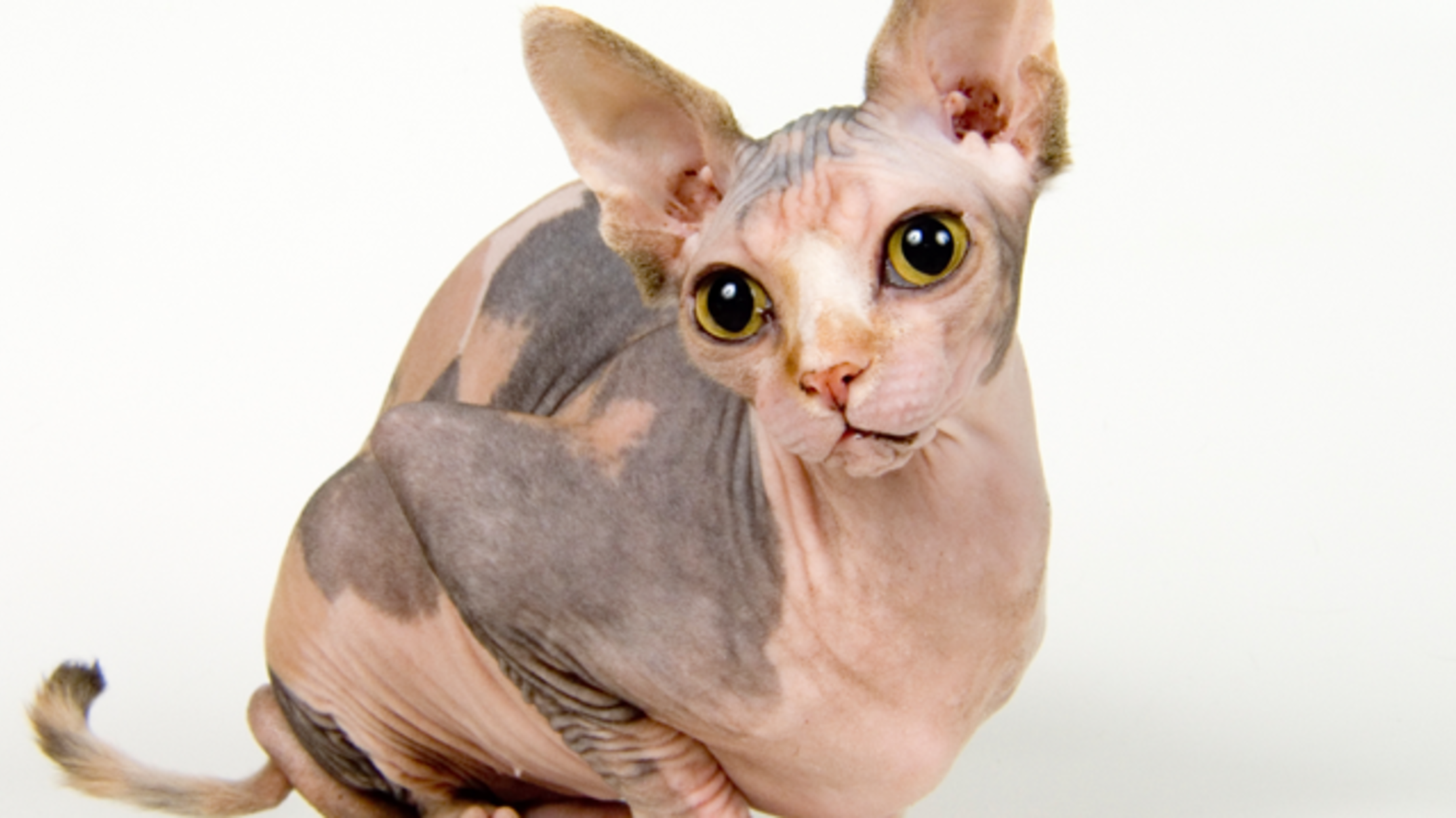 11 Not-So-Fluffy Facts About Sphynx Cats | Mental Floss