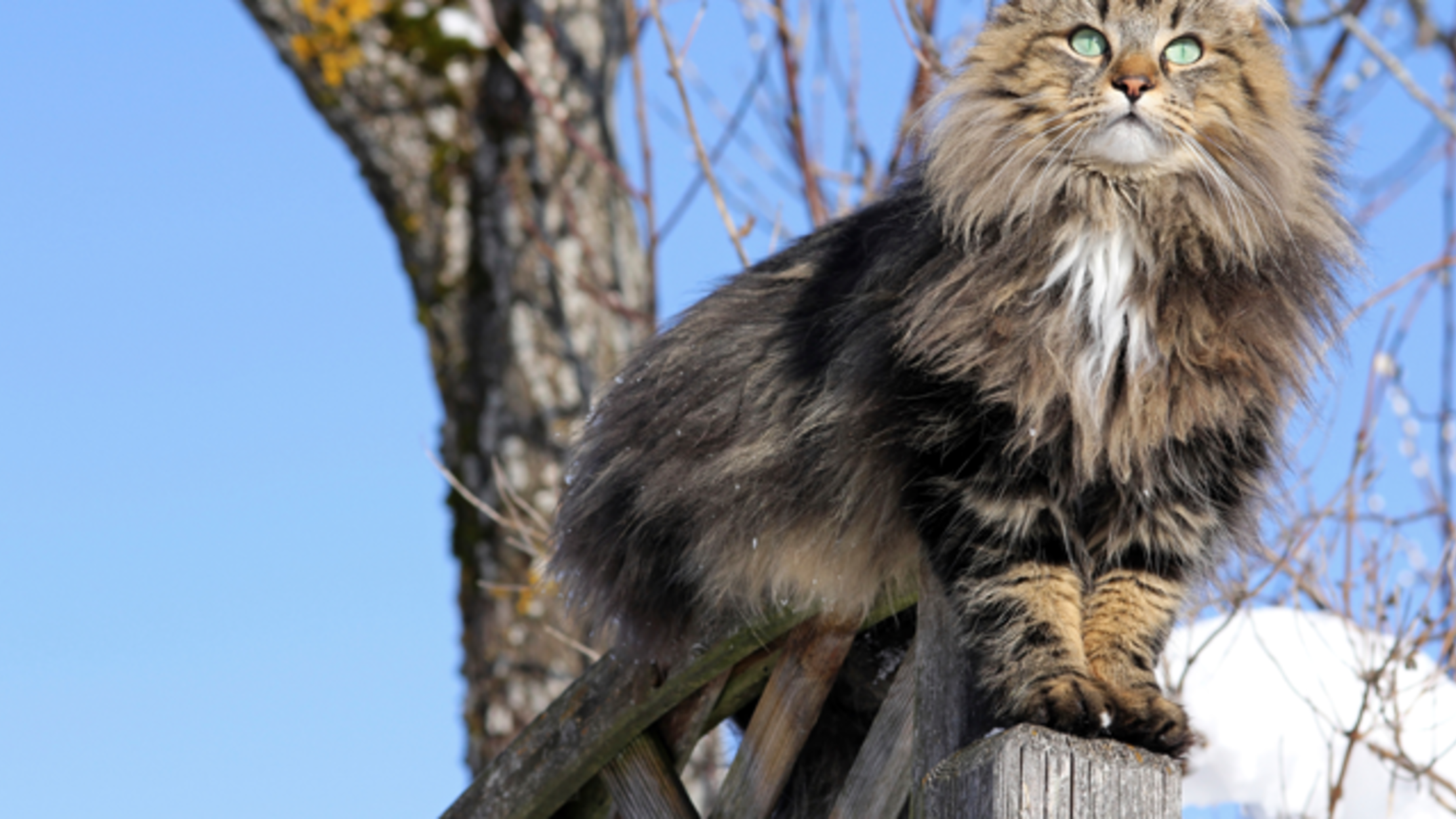 10 Furry Facts About Norwegian Forest Cats | Mental Floss