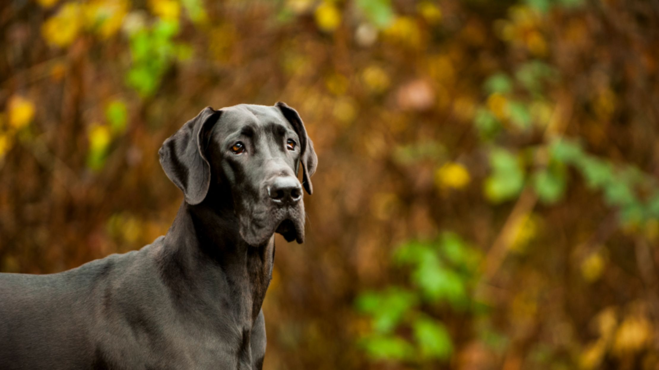 10 Mighty Facts About Great Danes | Mental Floss