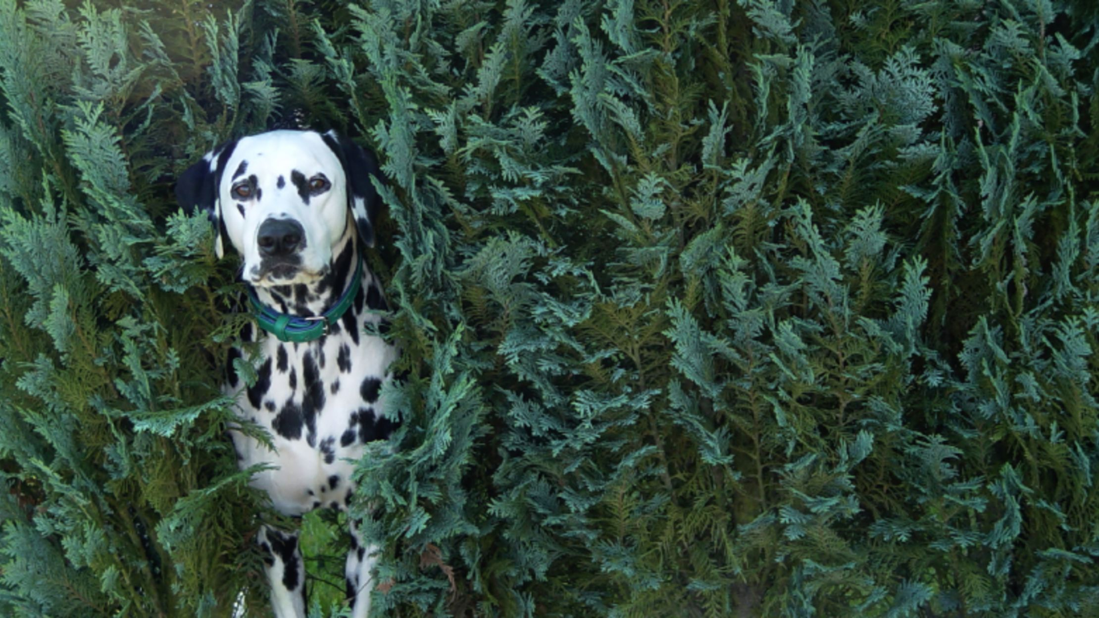 11 Spotted Facts About Dalmatians   Mental Floss