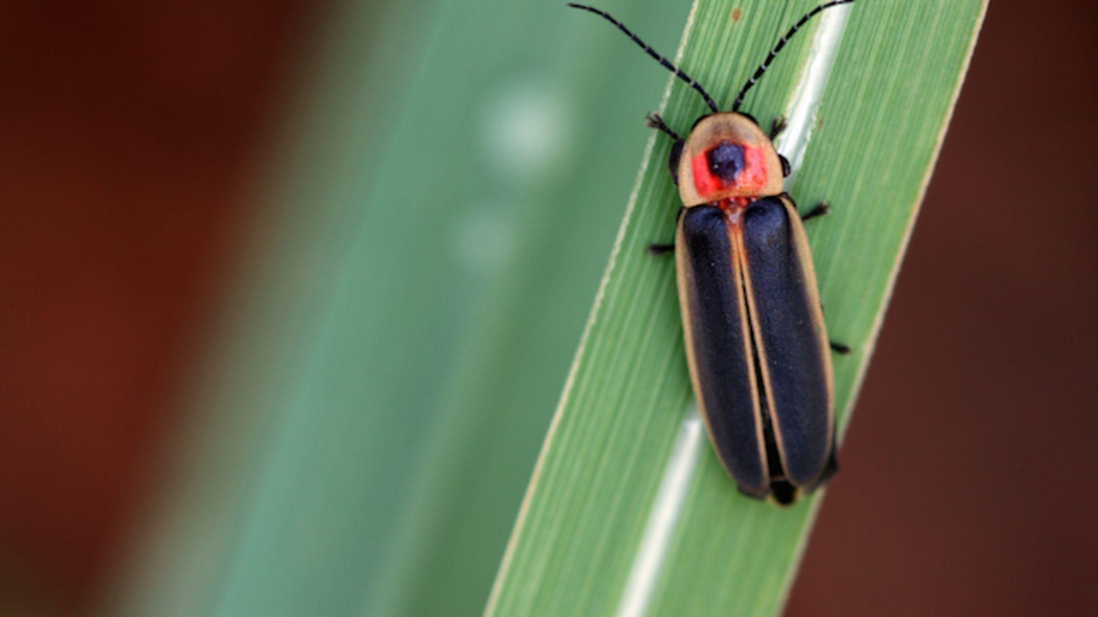 Regional Breakdown Of Firefly Vs Lightning Bug Mental