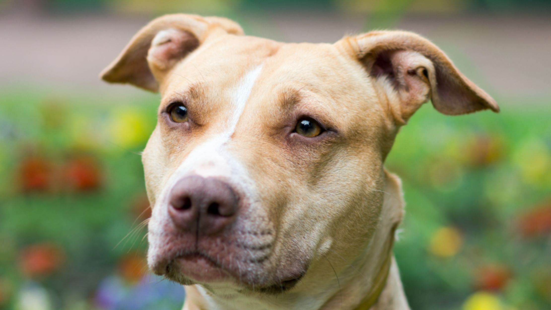 Facts About American Pit Bull Terriers