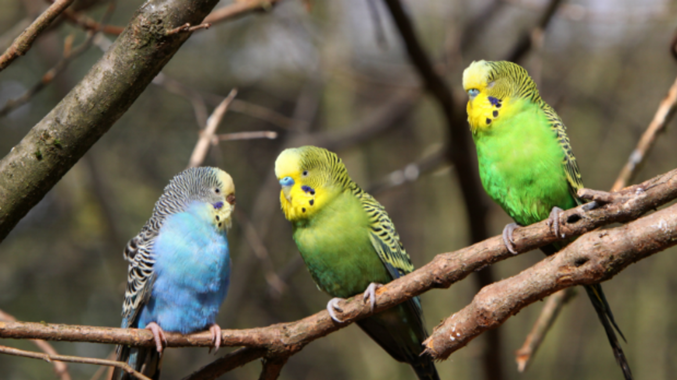 Yawning Is Contagious for Some Parakeets, Too | Mental Floss
