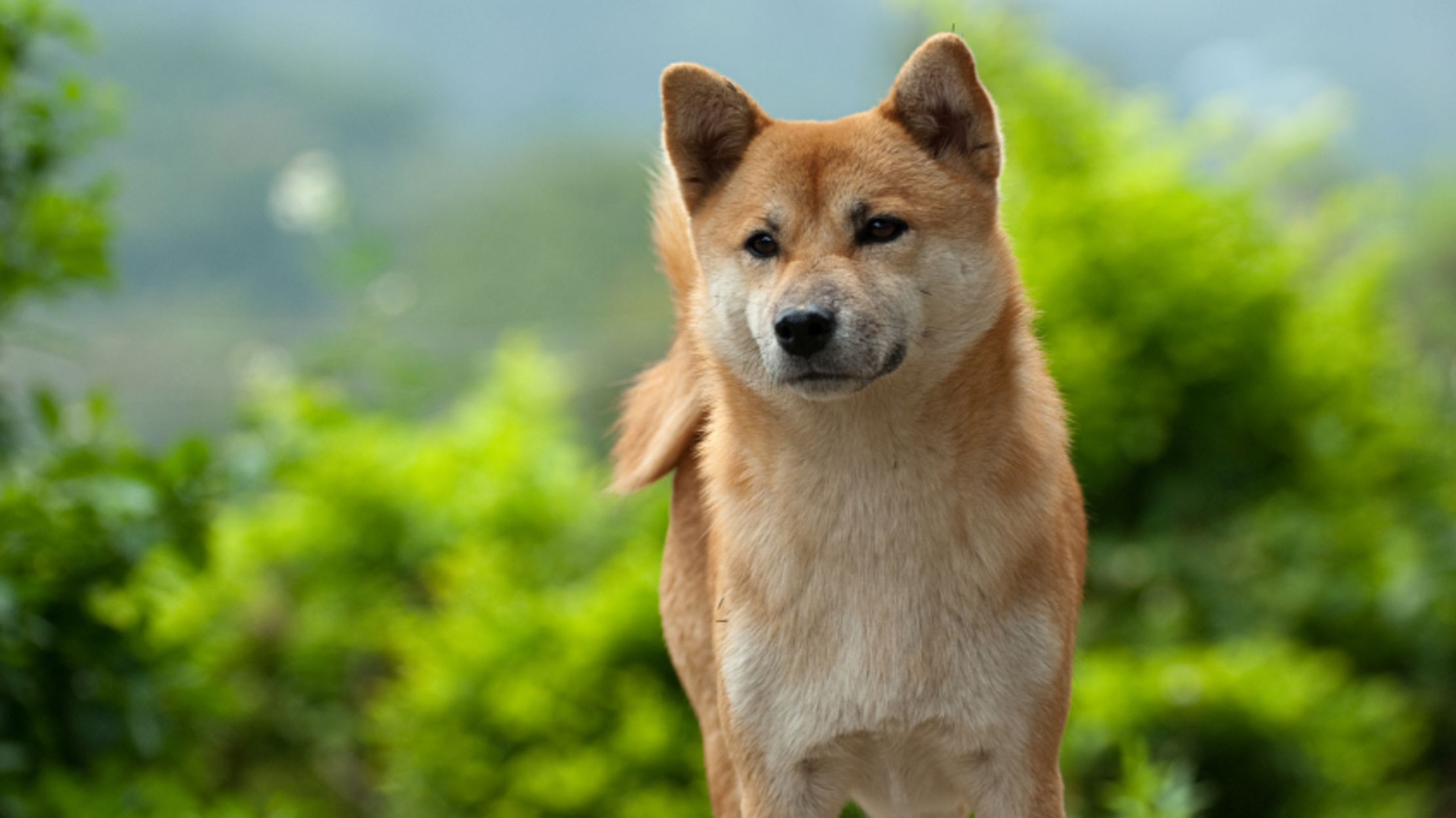 11 Adorable Facts About Shiba Inus Mental Floss