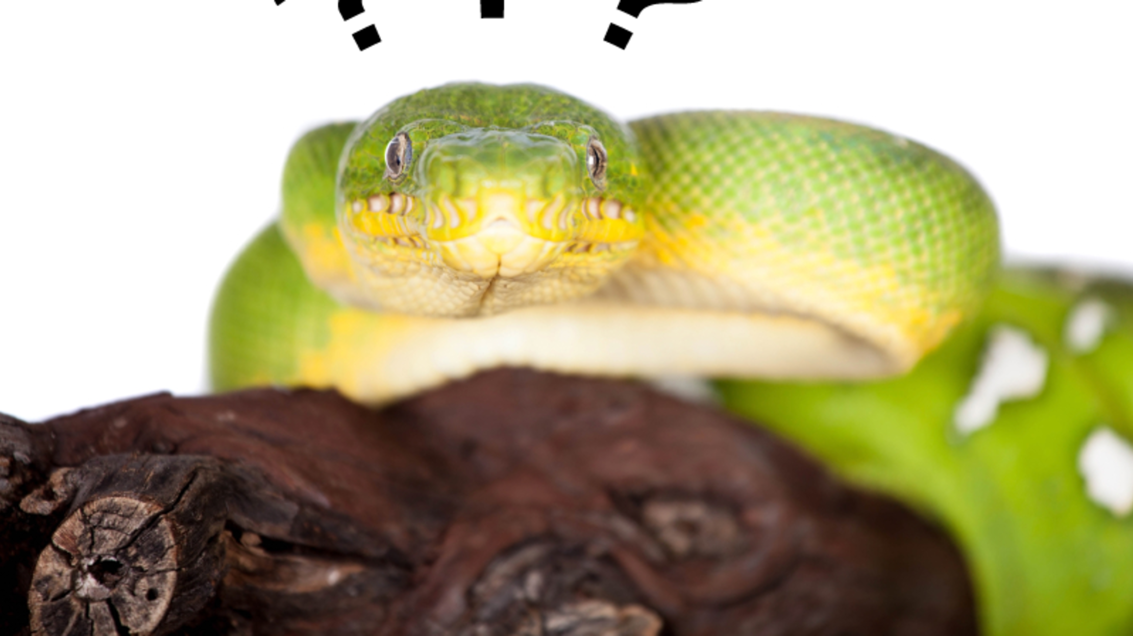 What's the Difference Between a Boa and a Python? | Mental Floss