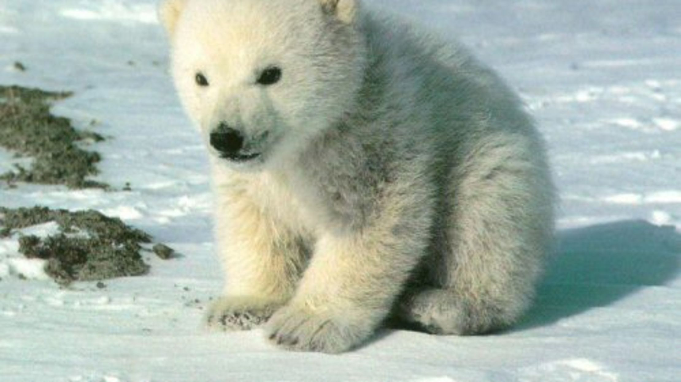 Some Things You Should Know About Polar Bears