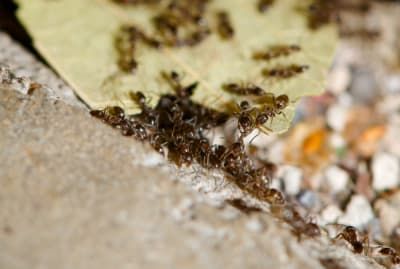 A pile of genetically-related Argentine ants