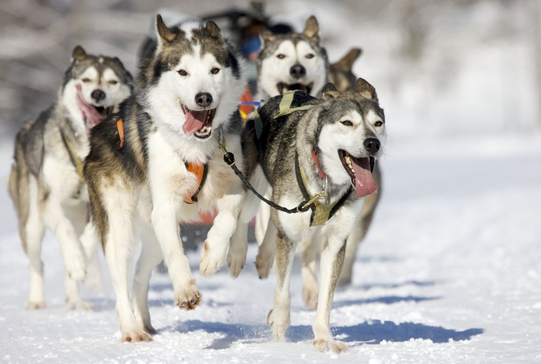 SIBERIAN HUSKY ESKIMO SLED DOG TEAM GREAT DOG PRINT MOUNTED READY TO FRAME