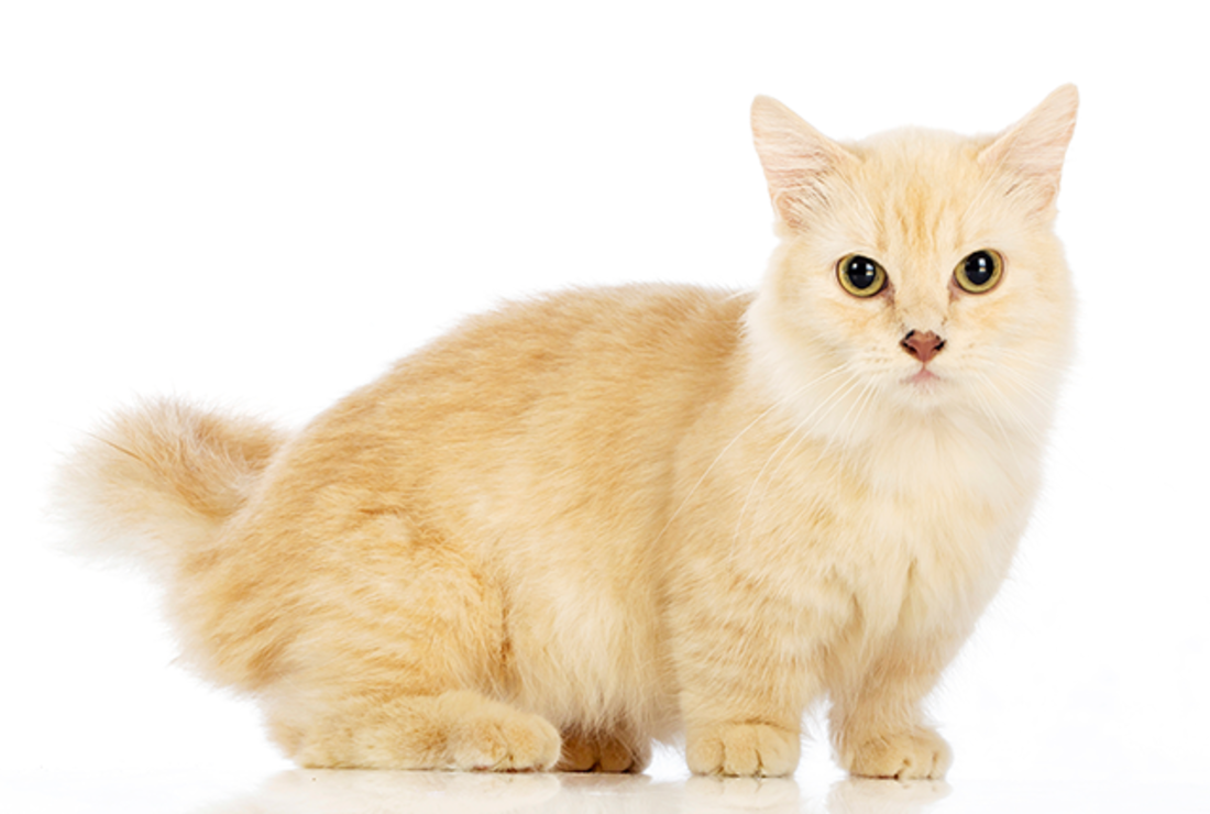 7 Short Facts About Munchkin Cats | Mental Floss