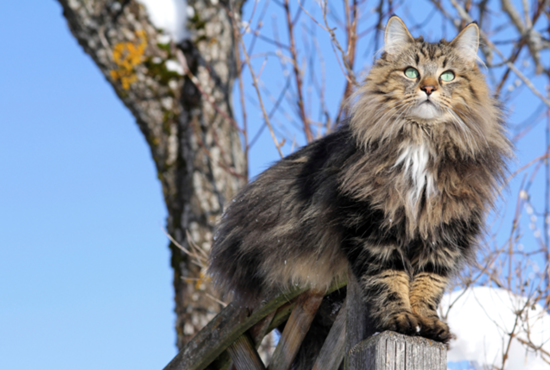 10 Furry Facts About Norwegian Forest Cats Mental Floss