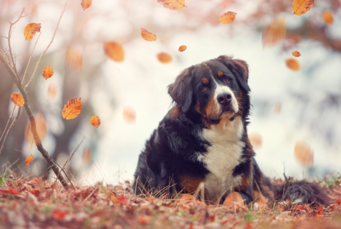 10 Stocky Facts About Bernese Mountain Dogs Mental Floss