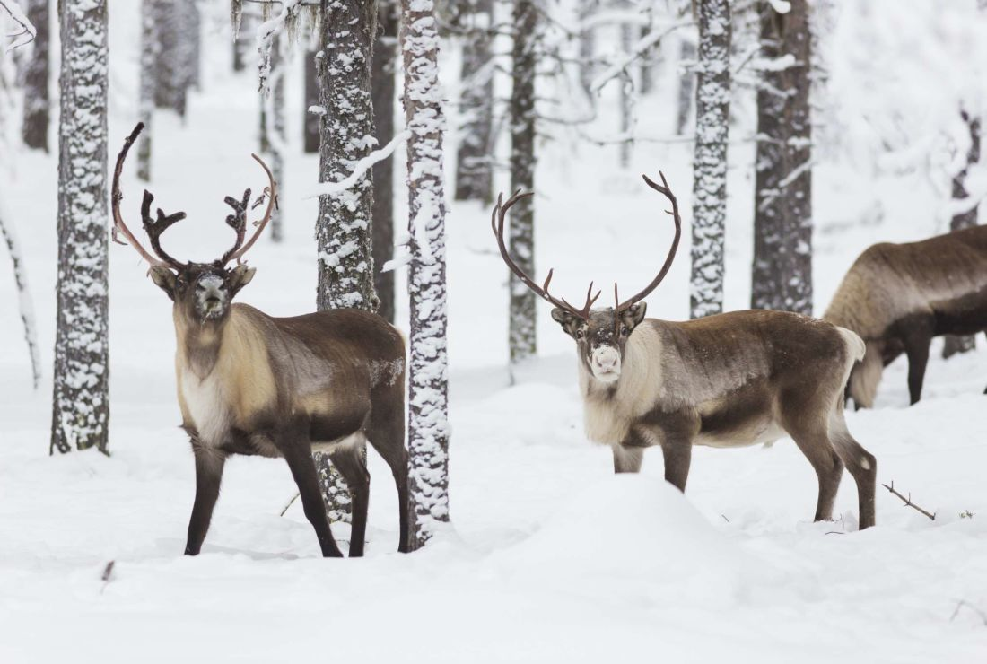 Reindeer Facts | Mental Floss