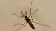 Las picaduras de mosquitos pueden generar ronchas en la piel