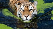 GERMANY-WEATHER-HEAT-ANIMALS-TIGER