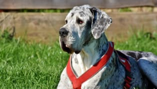 6 Largest Dog Breeds in the World