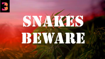 Nothing in cannabis is what it seems, and the snakes are ruining the industry.