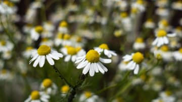 Las flores de manzanilla son un remedio casero eficaz para aliviar los síntomas de la sinusitis