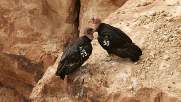 California condors in the wild.