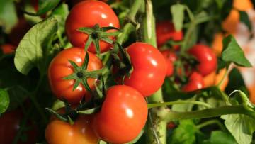 El tomate es importante en la dieta de un niño