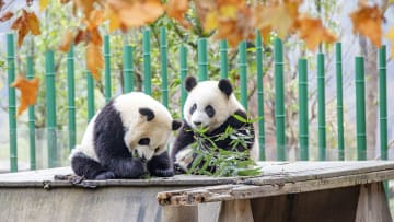The pandas are playing at the China giant panda protection and research center in Aba,Sichuan, China on 10th November, 2020