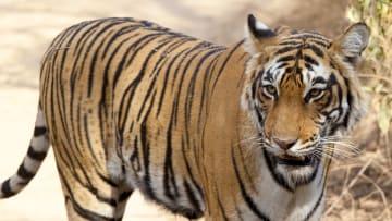 Tiger at Ranthambhore, India