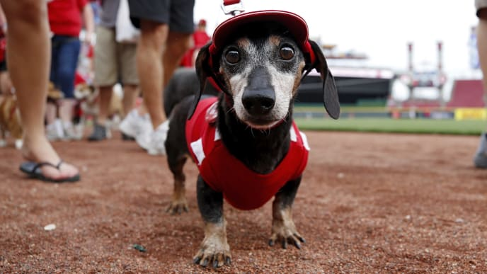 CINCINNATI, OH - JUNE 17:  Fans parade their dogs around the field during Bark in the Park prior to a game between the Houston Astros and Cincinnati Reds at Great American Ball Park on June 17, 2019 in Cincinnati, Ohio. (Photo by Joe Robbins/Getty Images)