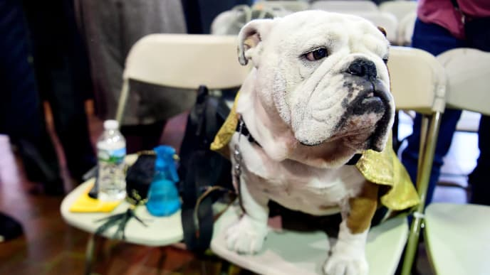 NEW YORK, NEW YORK - FEBRUARY 11: Gringo the Bulldog looks on after not being crowned the winner of Bulldog Breed Judging during the 143rd Westminster Kennel Club Dog Show at Piers 92/94 on February 11, 2019 in New York City. (Photo by Sarah Stier/Getty Images)