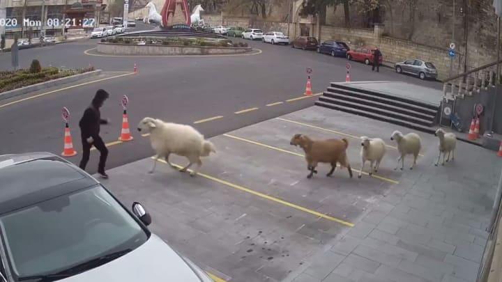 Livestock get aggressive in Turkey.