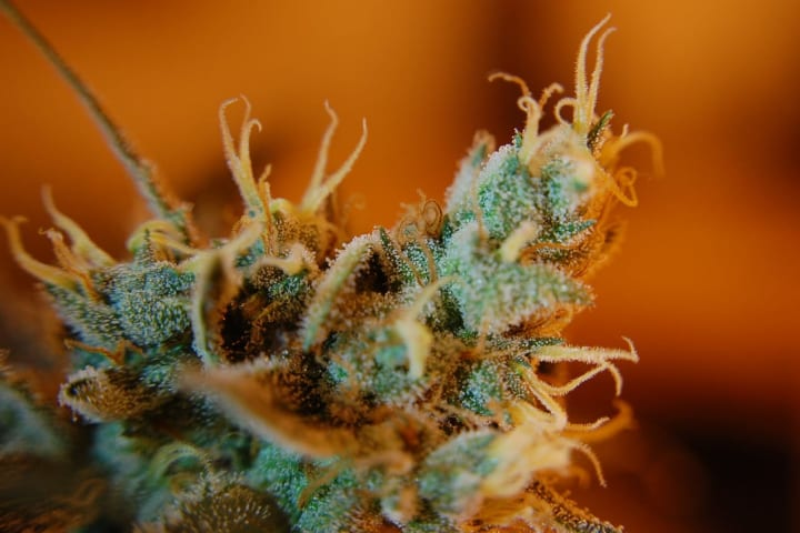 close up image of cannabis flower.