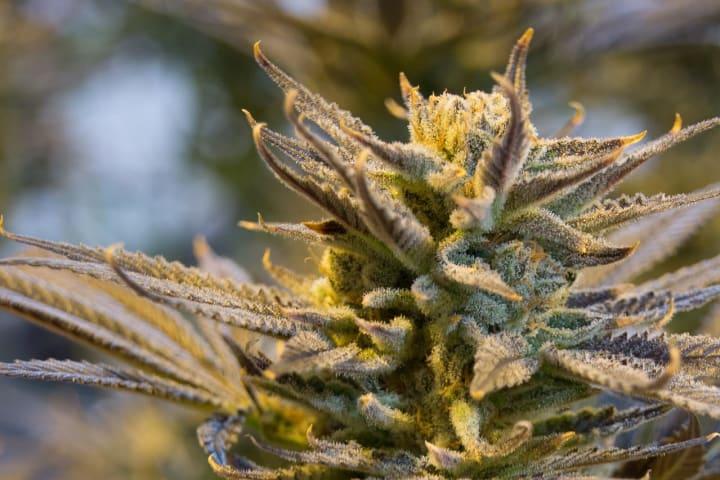 cannabis plant in grow facility