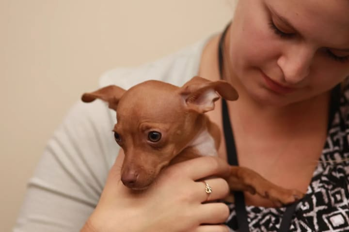 Magic, a 16-week-old Chihuahua from Team Fluff, gets some last-minute coaching.
