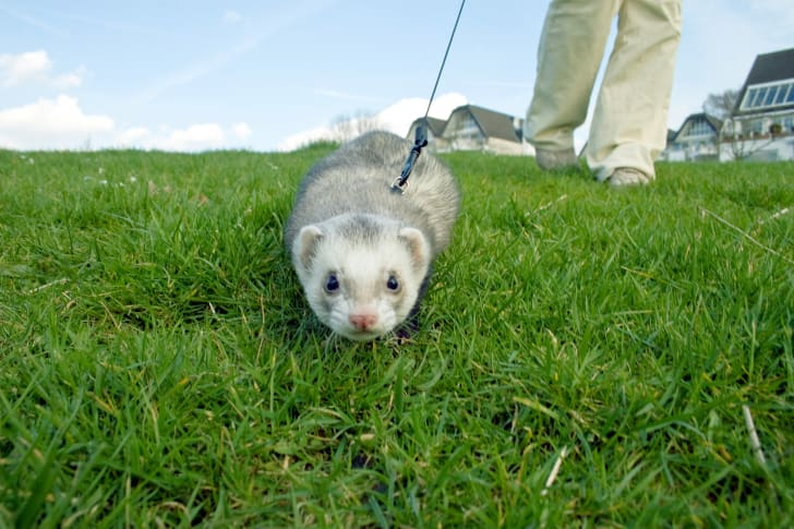 A ferret goes for a walk on a leash