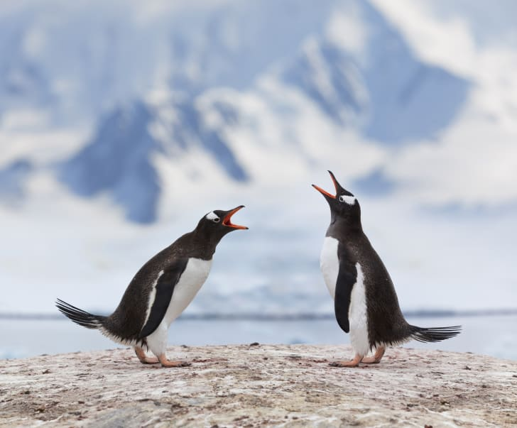 Antarctica gentoo penguins fighting