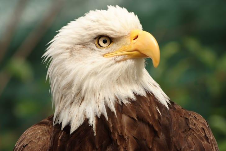 A close-up of a bald eagle's head.
