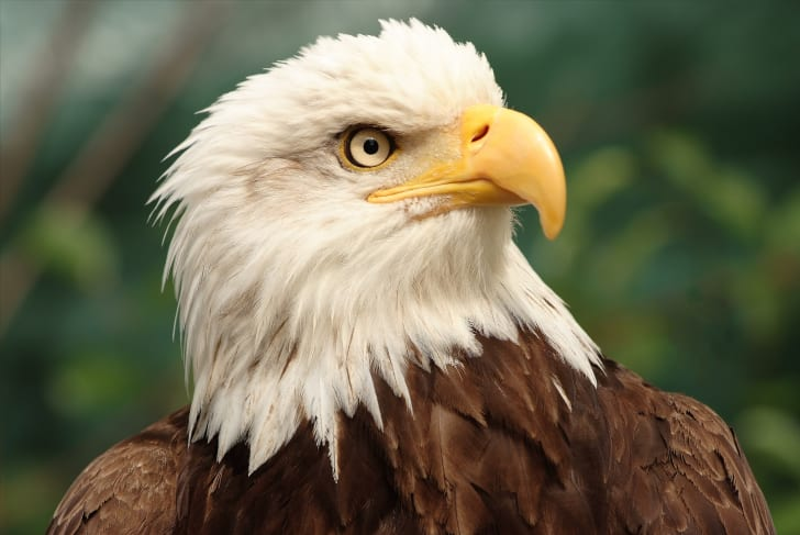 A close-up of a bald eagle's head.