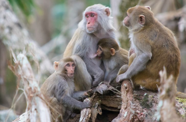 A group of rhesus macaques