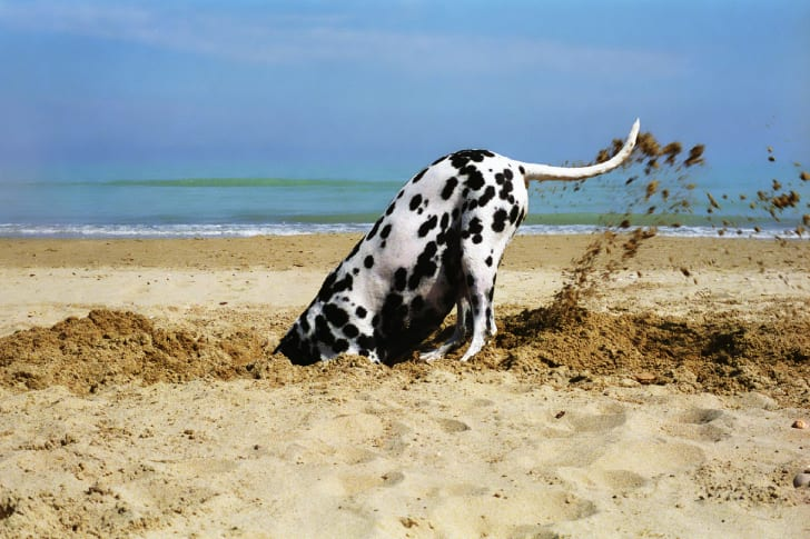 A Dalmation dog digs a hole in the san on a beach