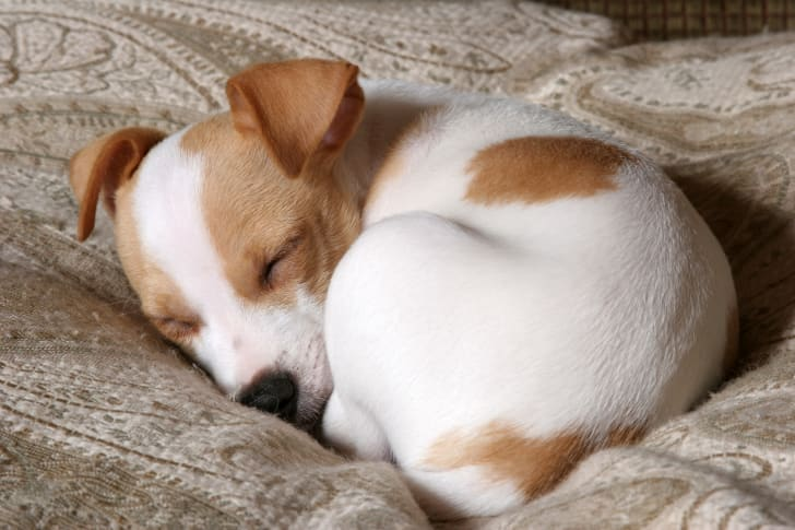 Tiny Jack Russell Terrier curled up sleeping
