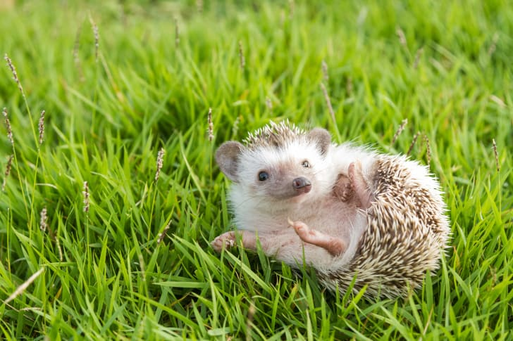 Hedgehog laying in the grass.