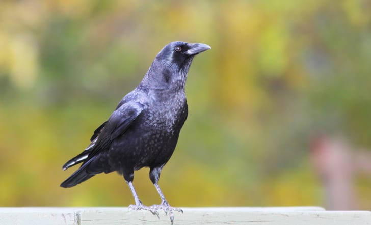 A crow sitting on a fence.