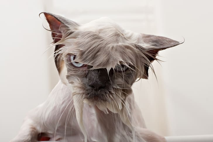unhappy wet cat